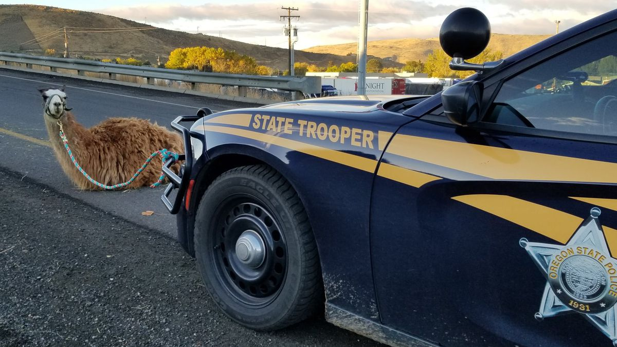 "The trooper took a photo to prove she had caught the ""elusive I-84 llama."""