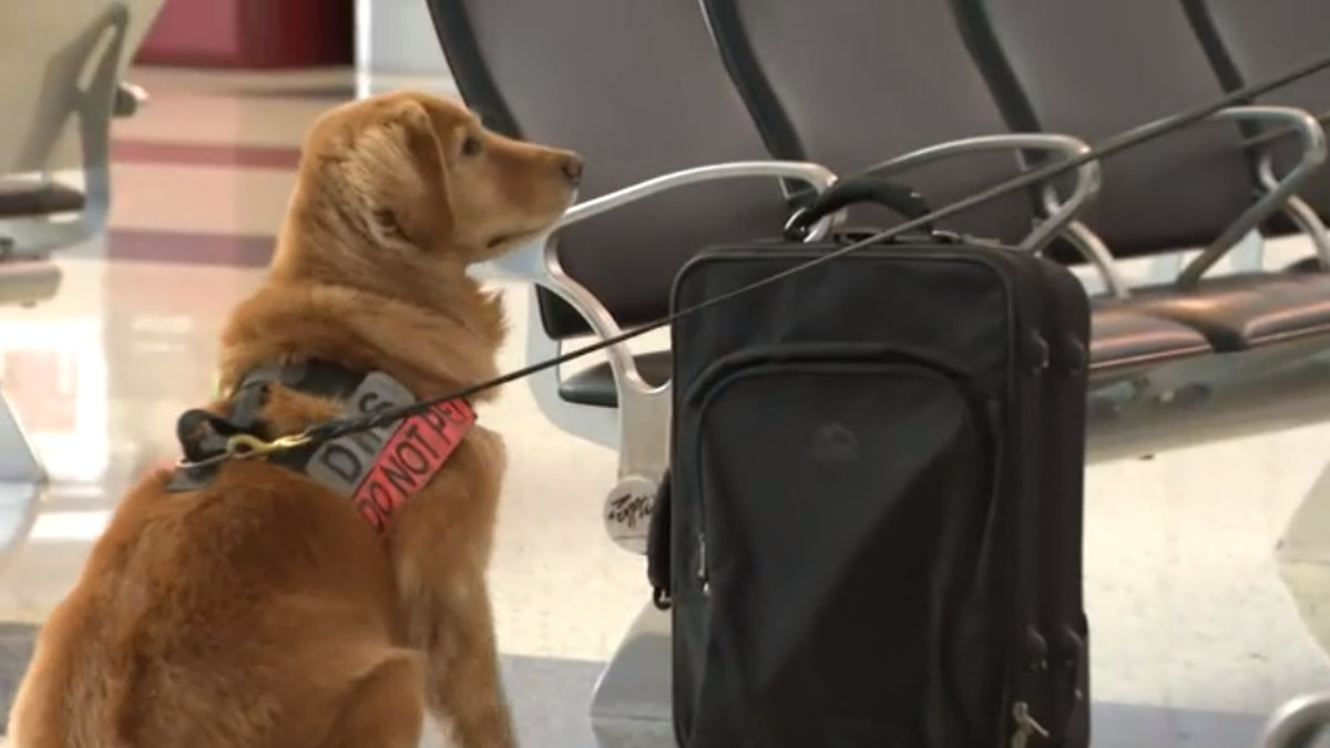 Alona sniffs out explosives and explosive materials at the Las Vegas airport.