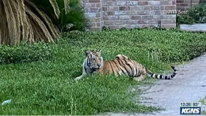 Tiger caught lounging in front of home